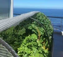 Organic, home-grow food on a balcony in Bakoven